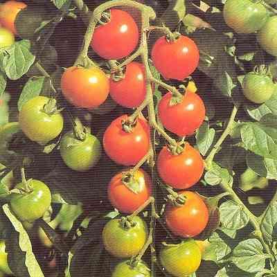 Cherrytomat