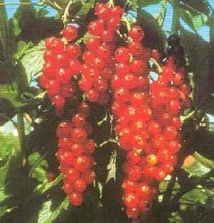 Månedsjordbær frb04