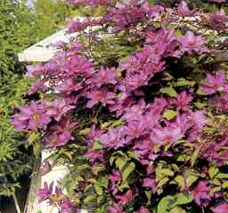 Storslået blomsterpragt tr0014