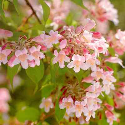 Rosa blomster tr002