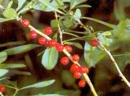 Giftige røde bær tr0063