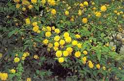 Pleniflora tr0094
