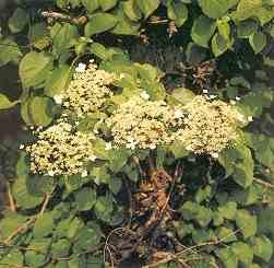 Hvide blomsterskærme tr0194